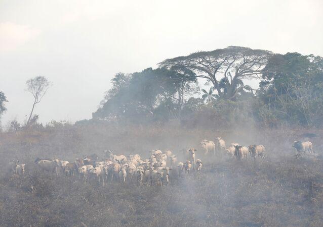 Cría de ganado en la Amazonía
