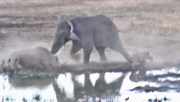 Un rinoceronte se enfrenta a un elefante africano - Sputnik Mundo
