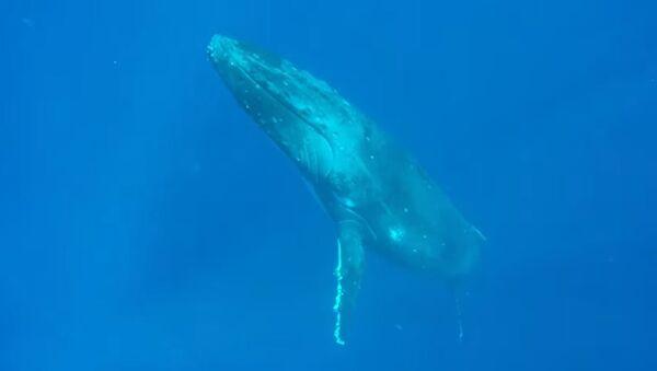 Como submarinos: unas ballenas jorobadas dejan atónito a un buceador - Sputnik Mundo