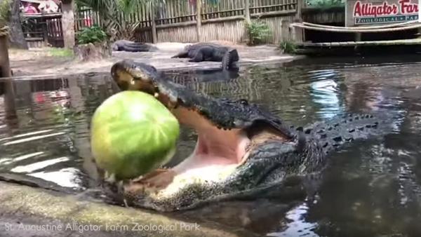 Un enorme aligátor hace explotar una sandía  - Sputnik Mundo