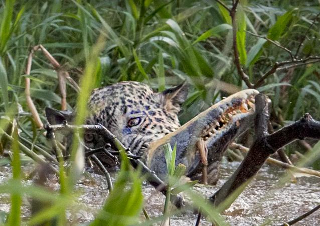 El momento increíble en el que un jaguar mata a un caimán
