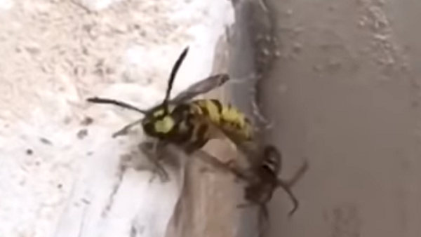 La batalla épica entre una araña y una avispa  - Sputnik Mundo
