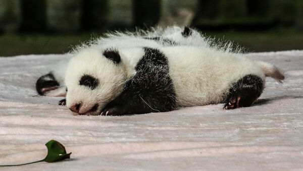 Dos crías de panda - Sputnik Mundo