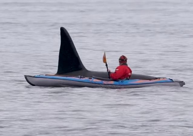 Una enorme orca emerge del agua, muy cerca de un kayakista