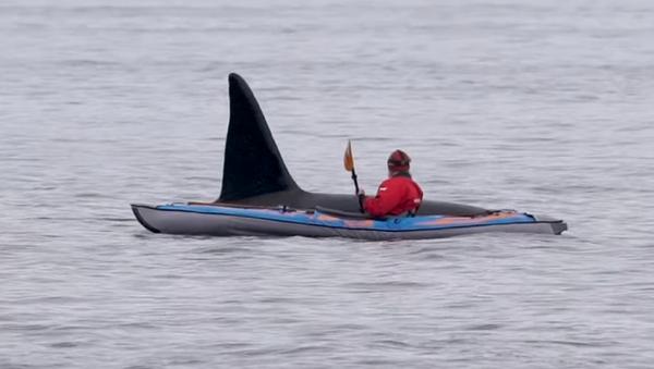 Una enorme orca emerge del agua, muy cerca de un kayakista  - Sputnik Mundo