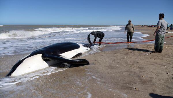 Una de las orcas encalladas en el balneario La Caleta en Argentina - Sputnik Mundo
