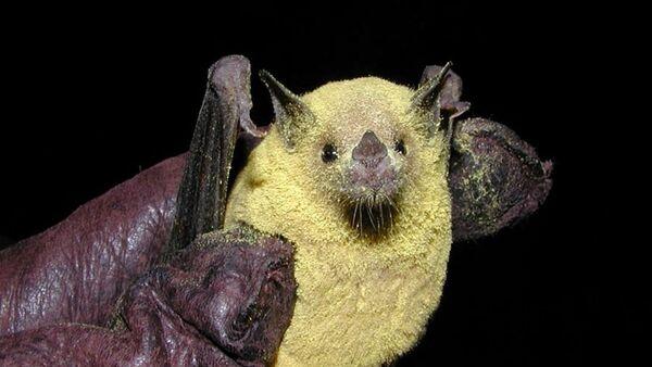 Murciélago magueyero menor cubierto de polen - Sputnik Mundo