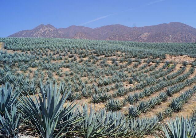 Agave azul en un campo mexicano