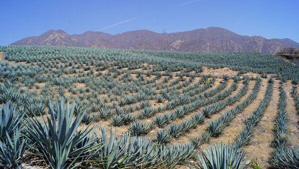 Agave azul en un campo mexicano - Sputnik Mundo