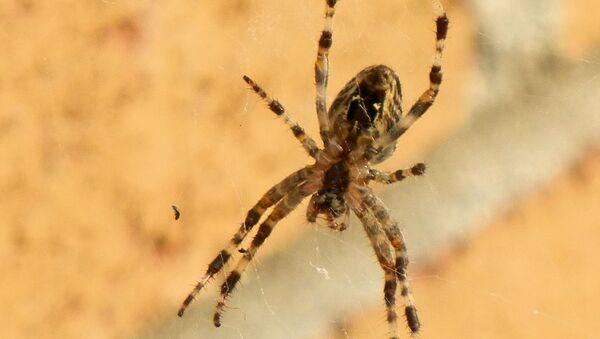 Un ejemplar de araña marrón. Imagen referencial - Sputnik Mundo