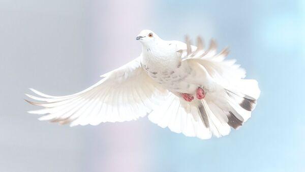 Una paloma blanca, referencial - Sputnik Mundo