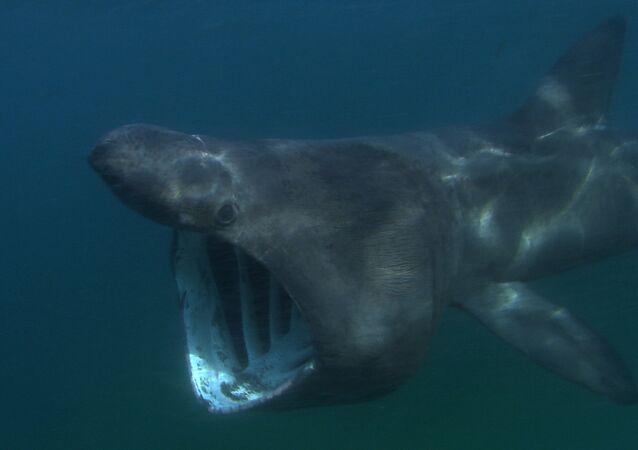 Un enorme tiburón peregrino