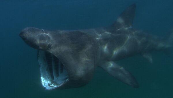 Un enorme tiburón peregrino  - Sputnik Mundo
