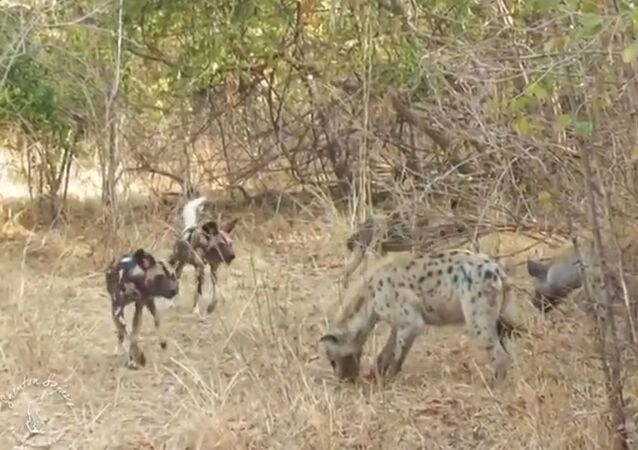 La ley de la necesidad: varias hienas roban una presa capturada por perros salvajes