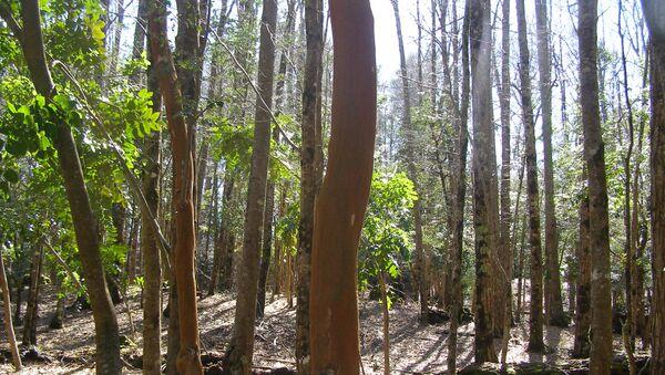 Bosque nativo chileno - Sputnik Mundo