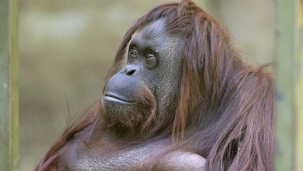 La orangutana Sandra - Sputnik Mundo