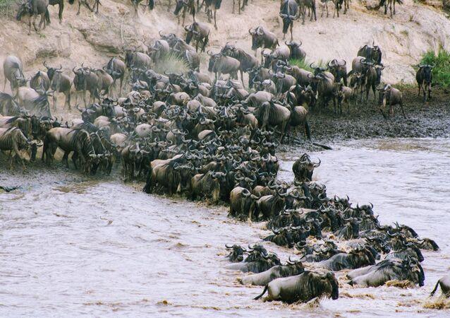 Ñus cruzan un río (archivo)