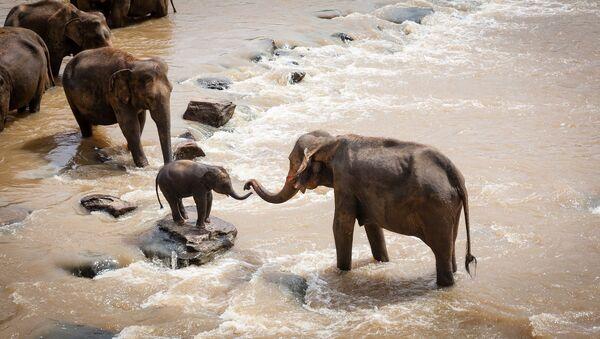 Los elefantes - Sputnik Mundo