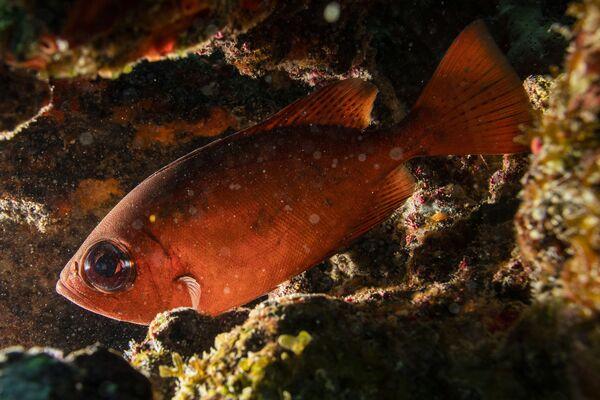 Así salvan a los corales del Caribe de una misteriosa enfermedad - Sputnik Mundo