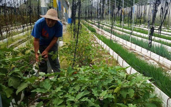 Jesús Méndez en una casa de cultivo del núcleo de desarrollo endógeno Fabricio Ojeda - Sputnik Mundo