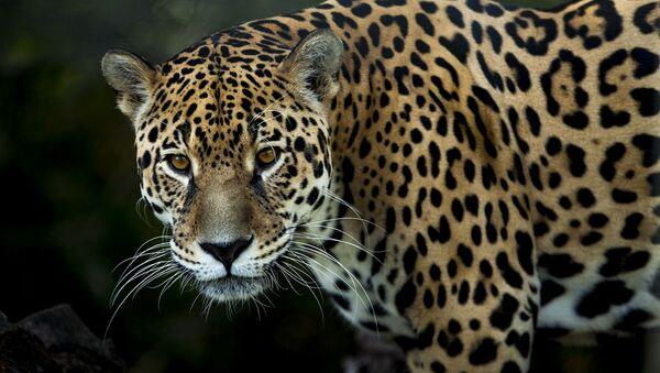 Un jaguar - Sputnik Mundo