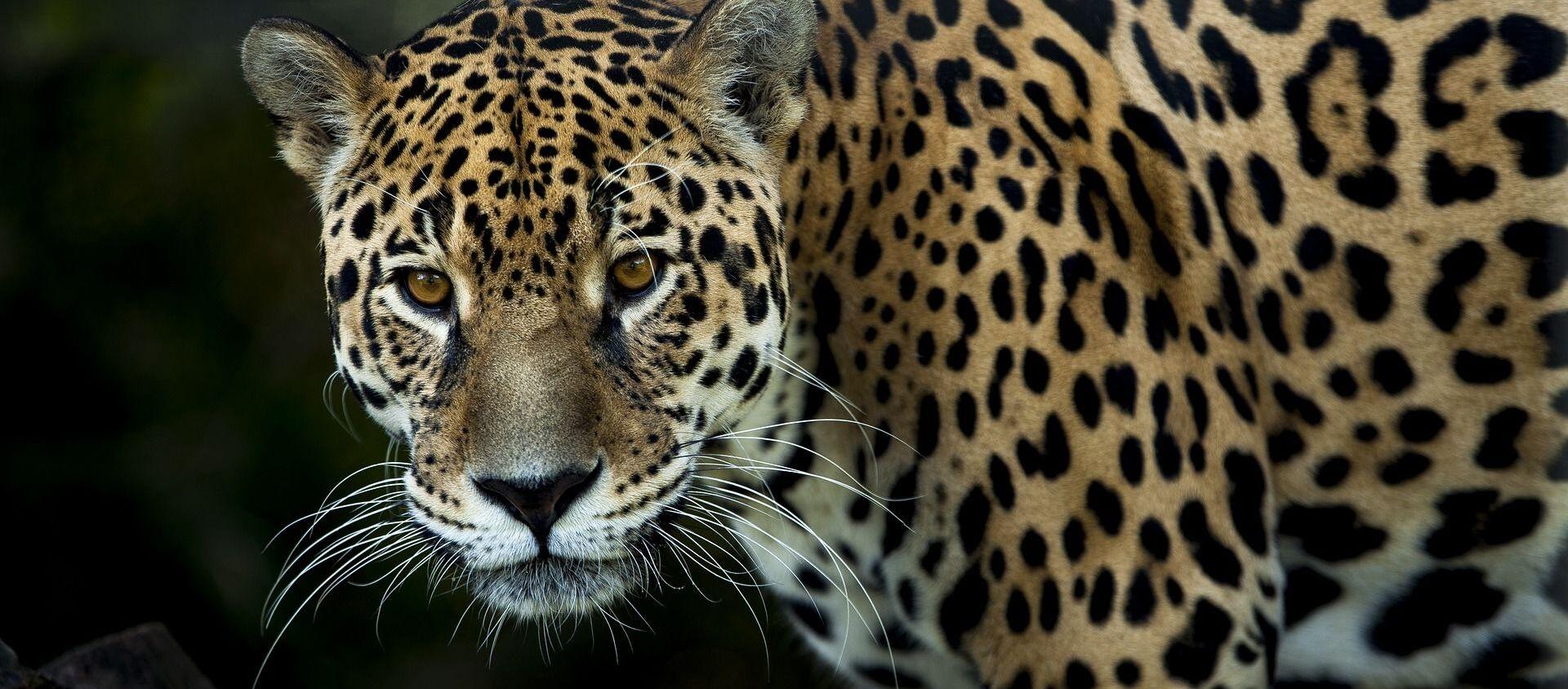 Un jaguar - Sputnik Mundo, 1920, 06.11.2020