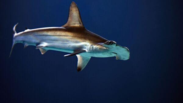 Un tiburón martillo  - Sputnik Mundo