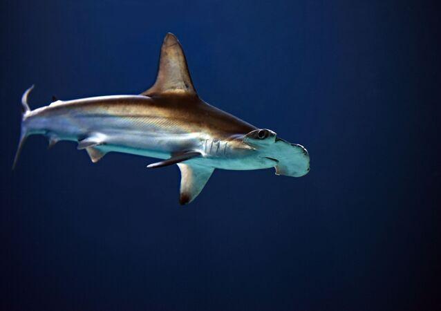 Un tiburón martillo