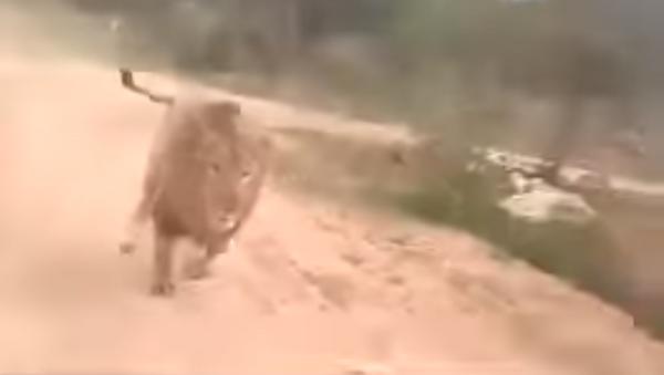 Estos turistas sacaron de sus casillas a un león y por poco no viven para contarlo - Sputnik Mundo
