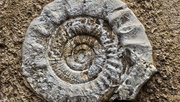 Fósil de un amonite - Sputnik Mundo