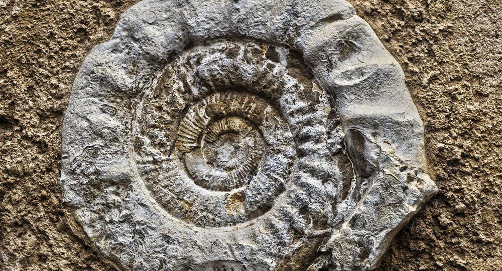 Fósil de un amonite