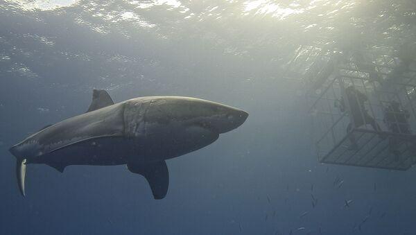 Un tiburón blanco cerca de una jaula - Sputnik Mundo