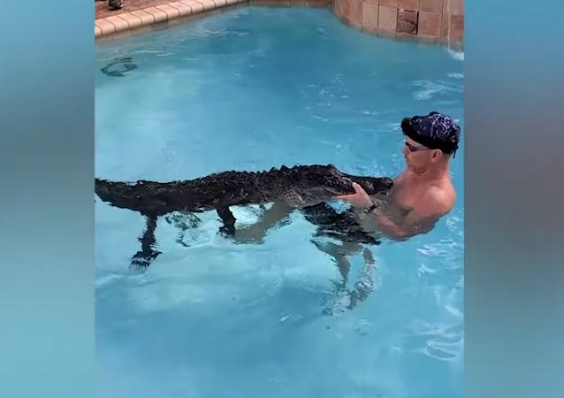 Un hombre juega con un cocodrilo en una piscina para rescatarlo