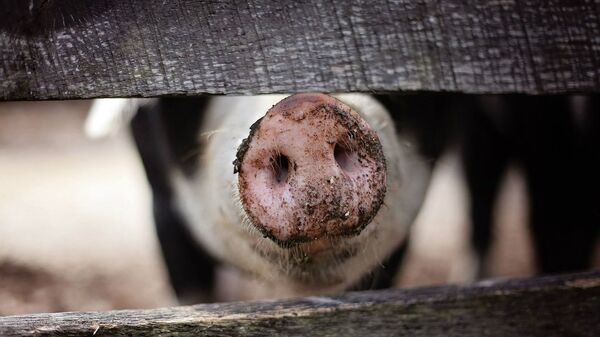 Un cerdo (imagen referencial) - Sputnik Mundo