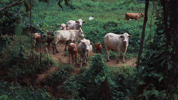 Una manada de vacas, imagen referencial - Sputnik Mundo
