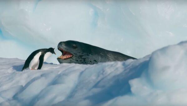 Un leopardo marino persigue a un pingüino - Sputnik Mundo