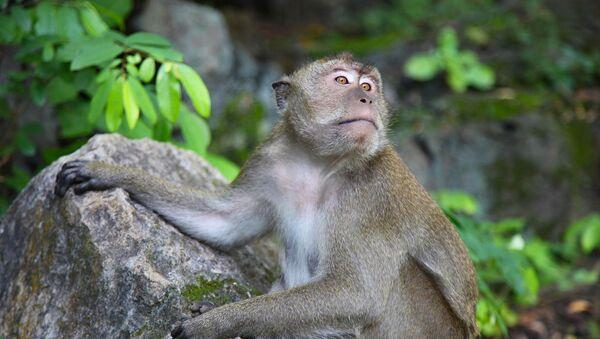 Un mono, foto de archivo - Sputnik Mundo