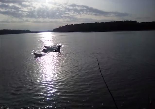 Un cocodrilo devora a un perro en un río ante los ojos de su dueño