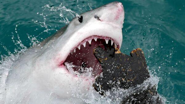 El ataque de un tiburón blanco a una maqueta de foca - Sputnik Mundo
