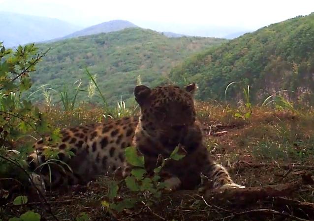 El leopardo más raro del mundo disfruta de su vida en Rusia