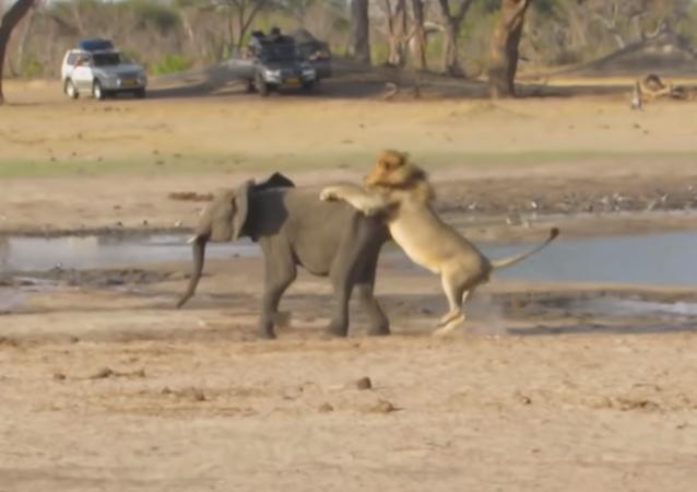 Un león no deja ninguna oportunidad a un pequeño elefante