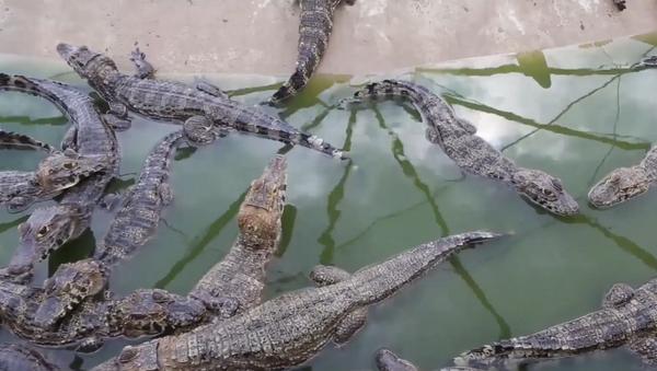 Así es un refugio para caimanes en una granja de Brasil - Sputnik Mundo