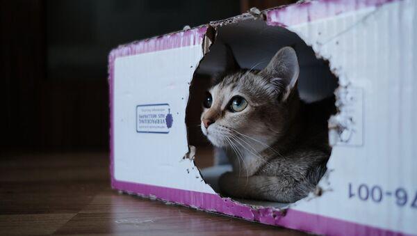 Un gato en una caja - Sputnik Mundo