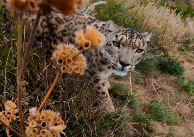Un curioso leopardo ve por primera vez una cámara GoPro