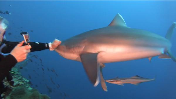 Un tiburón golpeado por un buzo - Sputnik Mundo