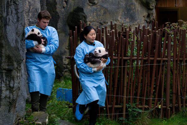 Работники зоопарка с детенышем панды в зоопарке в Брюглетте, Бельгия - Sputnik Mundo