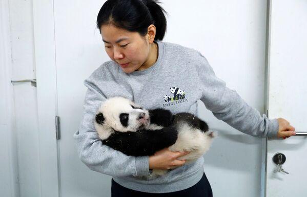 Хранитель зоопарка Ян Лю с детенышем панды в зоопарке в Брюглетте, Бельгия - Sputnik Mundo