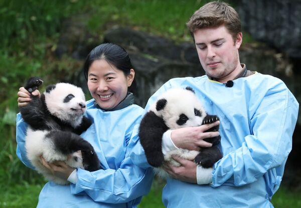 Трехмесячные детёныши-близнецы панды Бао Ди и Бао Мей в зоопарке Брюглетте, Бельгия - Sputnik Mundo