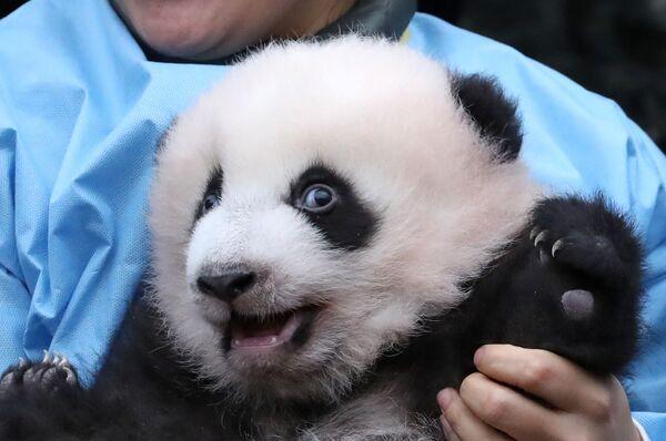Трехмесячный детёныш панды Бао Ди в зоопарке в Брюглетте, Бельгия - Sputnik Mundo