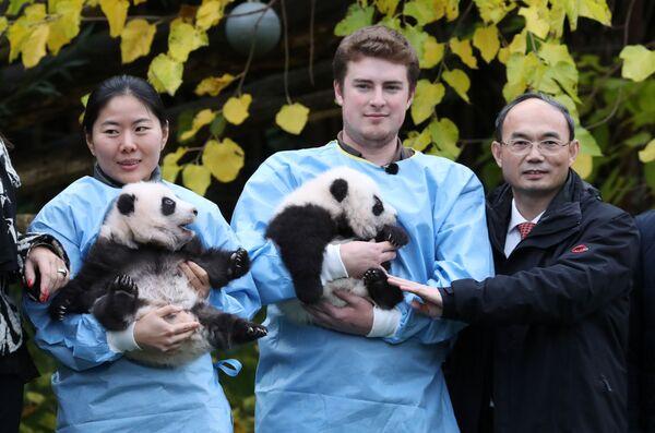 China's ambassador to Belgium Cao Zhongming poses with three month-old twin panda cubs Bao Di and Bao Mei at Pairi Daiza zoo - Sputnik Mundo